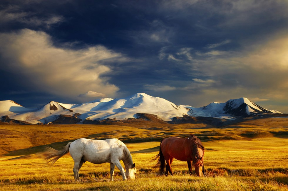 altai horses mountains